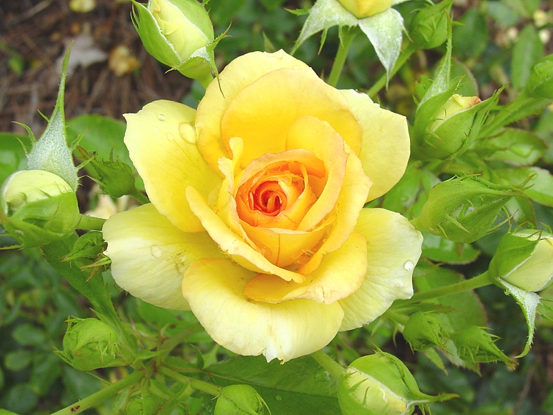 The yellow rose of texas the honest courtesan yellow rose of texas but mightylinksfo
