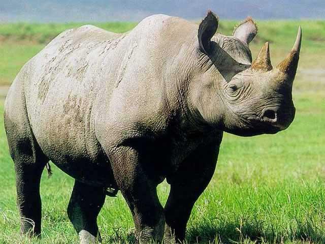 external image rhinoceros.jpg