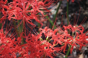 "The flower ""lycoris"" was named after her."