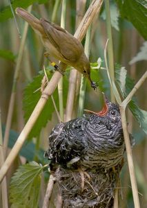 Reed warbler and cuckoo chick
