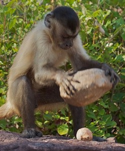 capuchin-monkey-tools